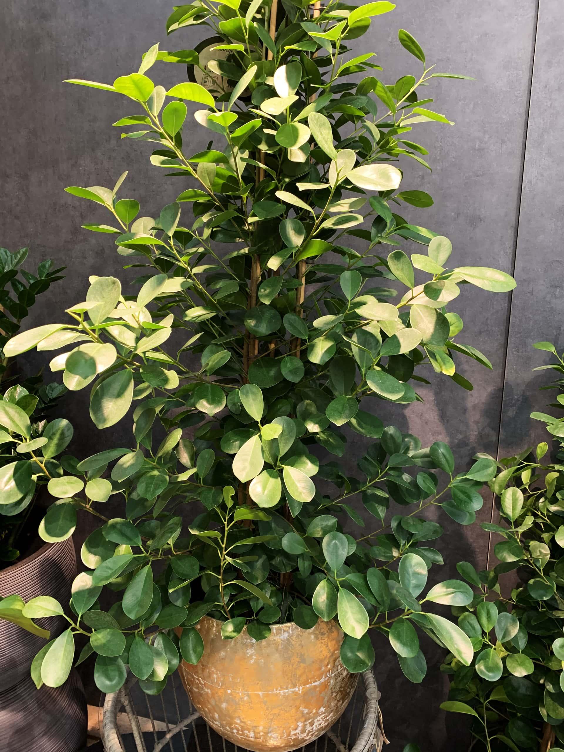 Ficus-Art