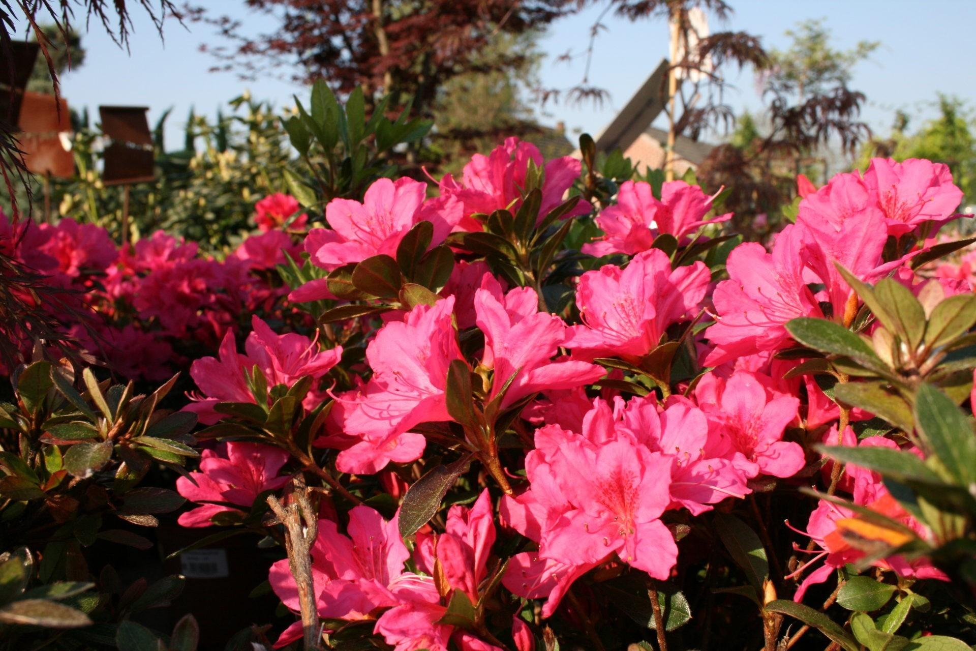 Azalee Blüte im Mai