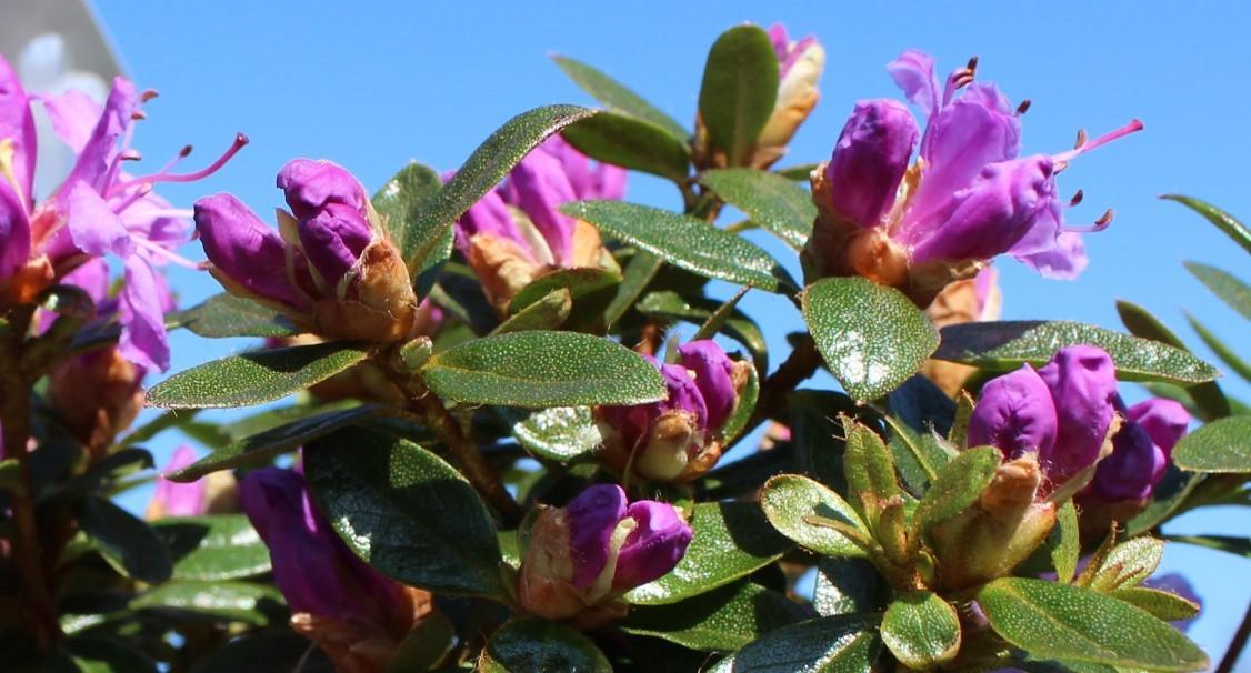 Azalee Shee Blüte im Mai