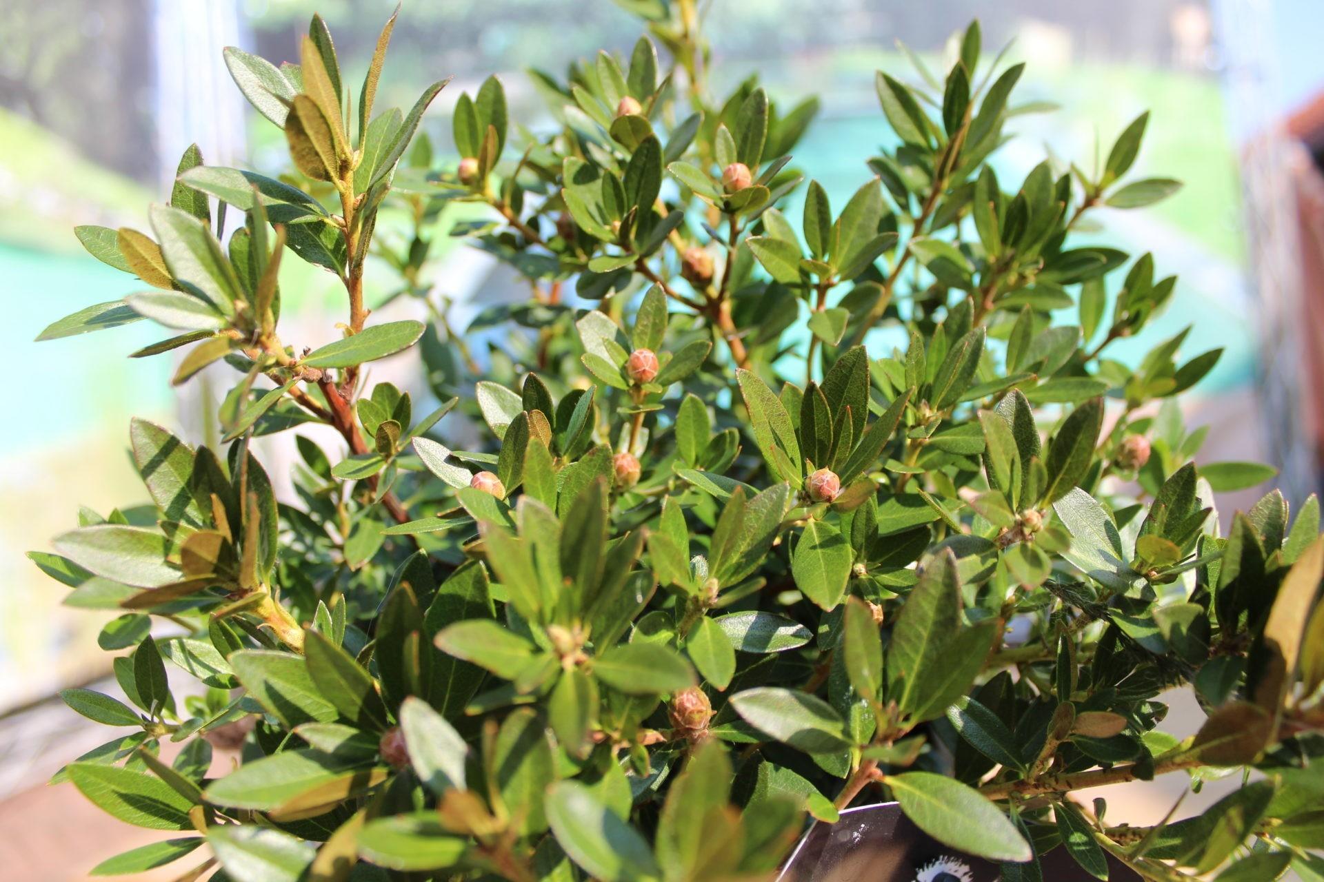 Azalee Bloombux Blüte im Mai-Juni