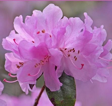 Azalee lila Blüte im April