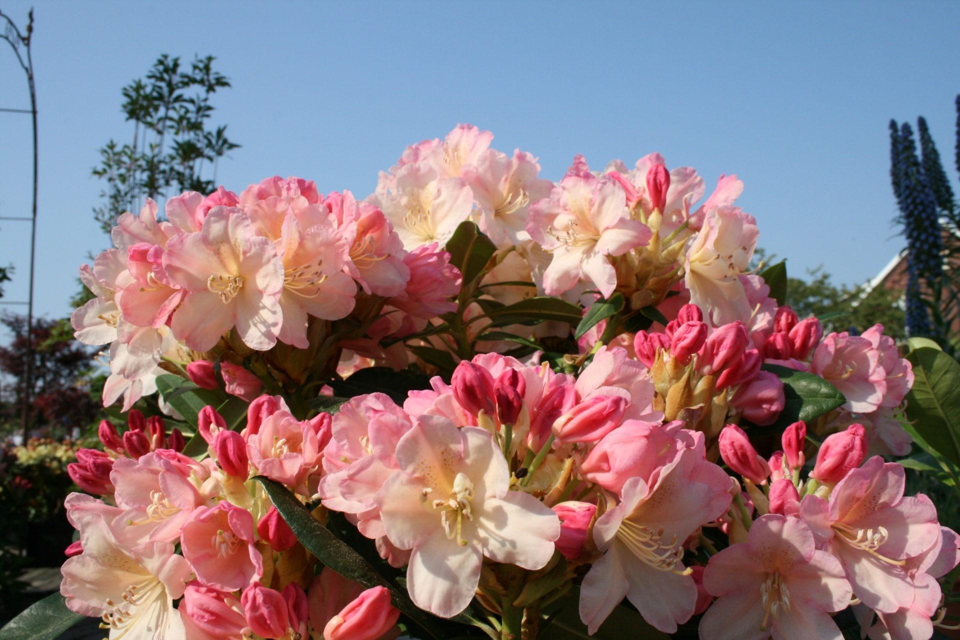 Rhododendron Blüte im Mai